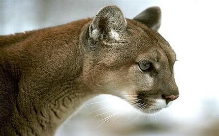 South Dakota Mountain Lion Walks to Connecticut