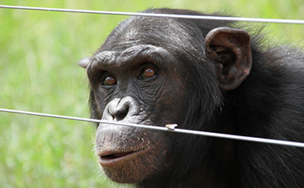 Dodo The Chimp Takes Care Of Tiger Cubs – VIDEO