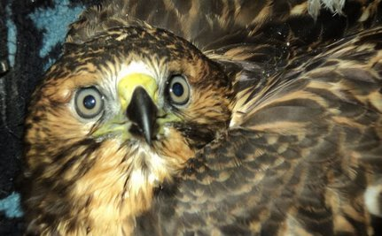 Hawk In My House: A Rescue