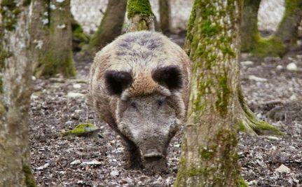 Did Toxic Green Algae Kill 32 Wild Boars in France?