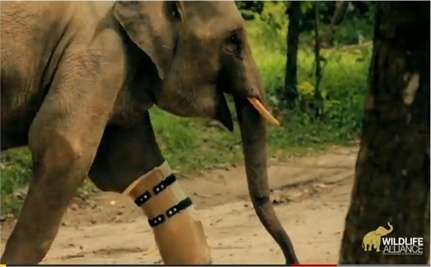 Elephant Gets Prosthesis (VIDEO)