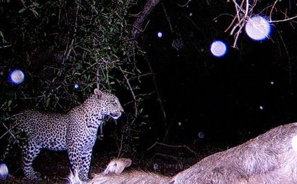 Caught on Camera: Gorgeous Lights Fall on Leopard