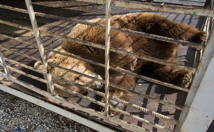 Katya, Russia's Olympic Bear, Lives in a Rusty Cage