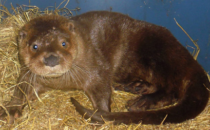 Otter With 2 Broken Legs Will Swim: Help Name Him