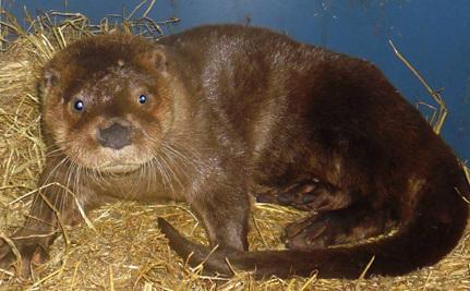 Otter With 2 Broken Legs Will Swim: Help Name Him