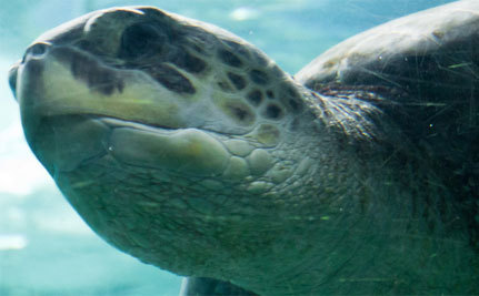 A Year After Boats Shatter His Shell, Turtle Swims Free