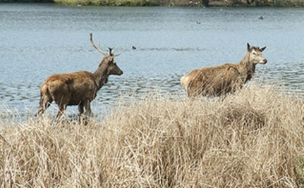 Deer Swims with Seals (Video)