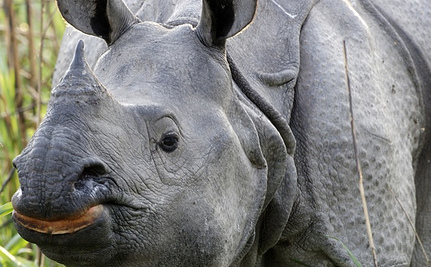 Rhino Horns Stolen From Museums, Sold on Black Market in Asia