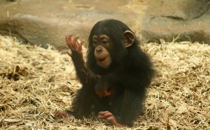 Ape, All Too Human