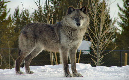 Conservation Groups Challenge Courts To Protect Wolves