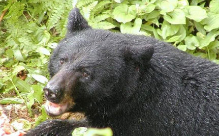 B.C. Man Arrested for Smuggling Bear Paws