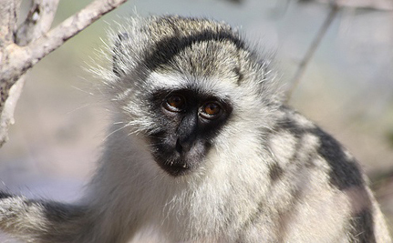 Victory! Caribbean Airlines Stops Shipping Primates for Research