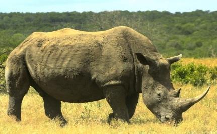 Rhino Poachers Strike Again