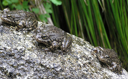 Breeding Experts Puzzled by Death of 104 Endangered Frogs