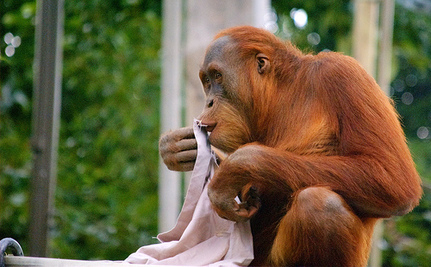 Orangutan Uses Wet Towel To Cool Off (Video)