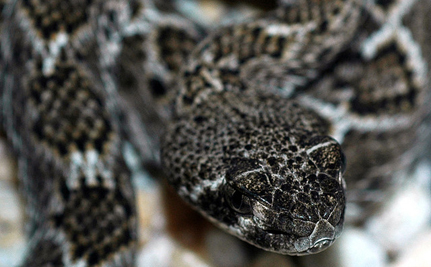 Are Rattlesnakes A Threatened Species?