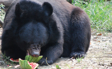Who Threw Rescued Bears A Watermelon Picnic?