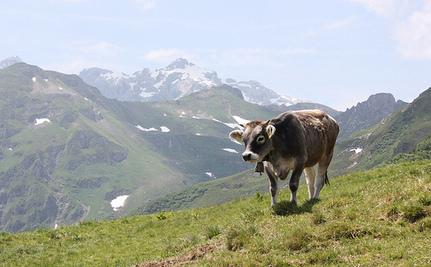 Yvonne The Runaway Cow Gains Freedom