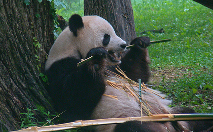 Is Panda Poop The Secret To Sustainable Biofuels?