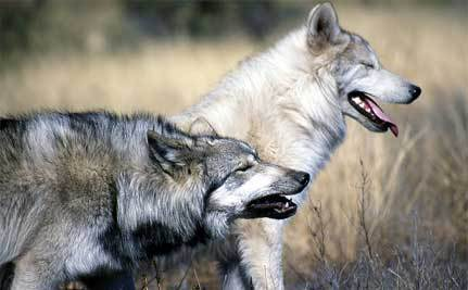 British Columbia Joins War on Wolves