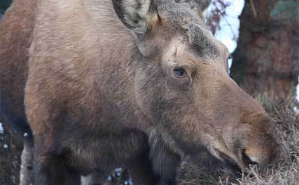 Moose Gets Stuck in Apple Tree
