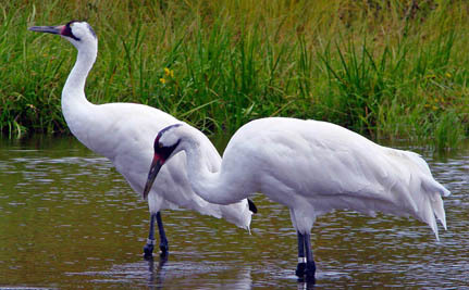 Keystone Pipeline Could Push Endangered Whooping Crane Into Extinction