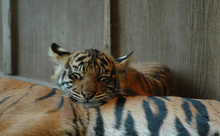 Three Rare Sumatran Tiger Cubs Born (Video)