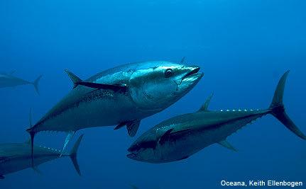 Creative Ways to Protect Atlantic Bluefin Tuna (VIDEO)