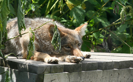 Glendale Fights To Save Coyote Family