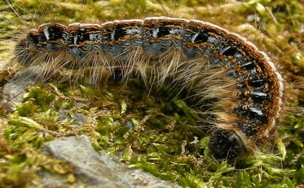 Zombie Virus Drives Caterpillars To An Explosive Death