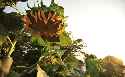 Sunflowers Fail in Nuclear Decontamination; Japanese Public Rejecting Nuclear Energy