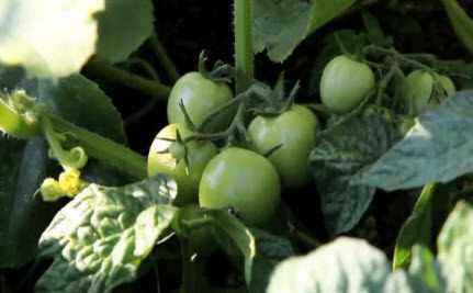 Underground Tomatoes (Video)