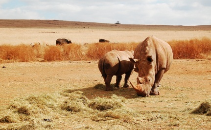 Will Poisoning Rhino Horns Stop Poaching?