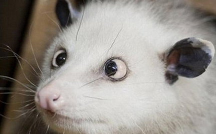 Goodbye To Heidi, The Cross-Eyed Opossum – VIDEO