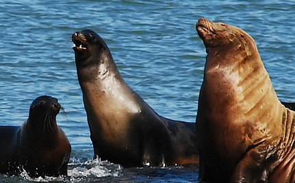 Sea Lion With Gunshot Wound Crosses 8 Lanes of Traffic