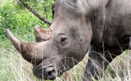 Legalize The Trade In Rhino Horns?