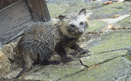 Raccoon Dogs Skinned Alive To Make Boots