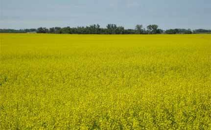 Genetically-Engineered Canola Goes Wild Across North Dakota