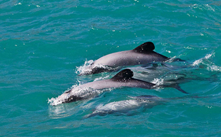 Endangered Dolphins Almost Extinct