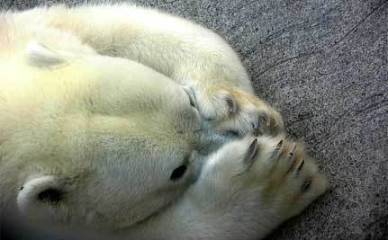 Zoo Polar Bear Turns on Her Newborns
