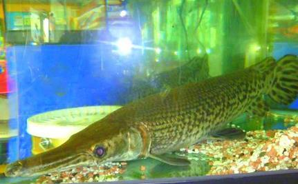 Alligator Gar Freed: Watch Him Swim For First Time!