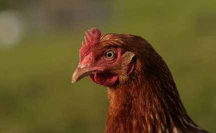 Liberated Battery Hens Find a New Home in Prison