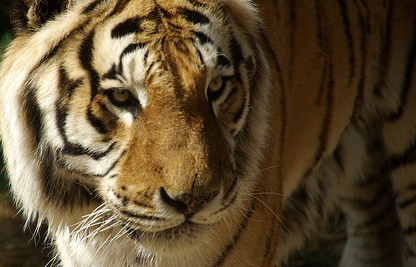 Do Endangered Tigers Belong at a County Fair?
