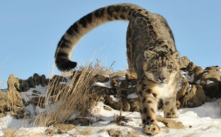 How Protecting Snow Leopards Can Alleviate Poverty in Central Asia