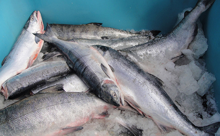Infectious Salmon Amenia – The Next Deadly Illness?