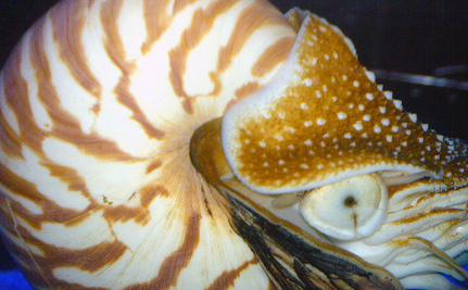 Save the Nautilus, A Living Fossil! (video)