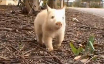 Polar, A Very Rare White Wombat (video)