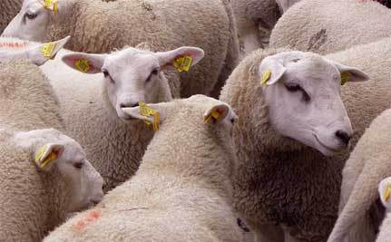 Mideast Nations Agree to Halt Slaughter of Australian Sheep