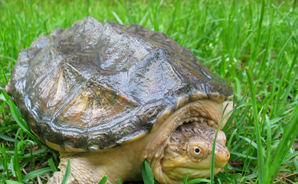 Michigan Woman Stops Crowd Attacking Frightened Turtle