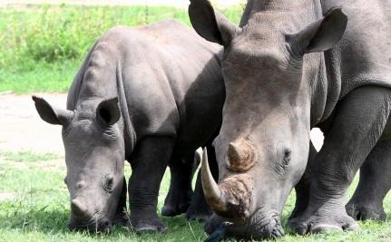The Rhino Takes Flight